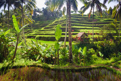 Terrace rice fields, Ubud Stock Photography