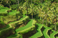 Terrace rice fields, Ubud Royalty Free Stock Images