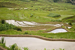 Terrace rice fields in Yunnan Royalty Free Stock Photo