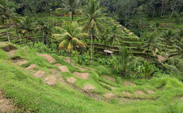 Terrace rice paddy field at Ubud, Bali Stock Images