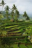 Terrace ricefiels very nice. Landscape of young watered ricefield with some coconut palm and a little hut in Bali island royalty free stock image