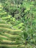 Terraced τομείς ρυζιού του Μπαλί Στοκ Εικόνες