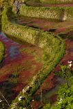 Terraced Field with red algae Stock Image