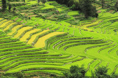 Terraced fields. The green terraced fields with green and yellow paddy Stock Photo