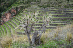 Terraced fields in the Inca archeological area of Pisac, Peru. Royalty Free Stock Images
