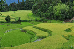 Terraced fields of paddy. The green terraced fields with green and yellow paddy Royalty Free Stock Photography