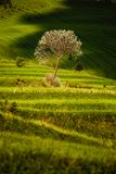 Terraced fields with tree. Beautiful fresh green terraced fields with tree and clouds shadow, Slovakia Royalty Free Stock Images