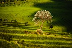 Terraced fields with tree. Beautiful fresh green terraced fields with tree and clouds shadow, Slovakia Royalty Free Stock Image