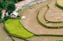 Terraced fields, Yen Bai province, Vietnam Stock Photography