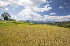 Golo Cador Rice Fields. Terraced Golo Cador rice fields near Ruteng in Flores, Indonesia royalty free stock image