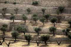Terraced Olive Grove. A terraced Olive trees grove at the foot of Mount of Olives in the city of Jerusalem, Israel. An HDR photo royalty free stock images