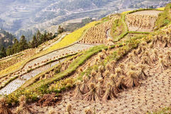 Terraced paddy rice field during harvest Stock Photo