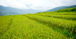 Terraced farmland with paddy field in Bhutan Stock Images
