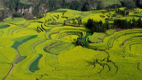 Terraced rape field of Luoping Stock Image