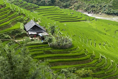 Terraced Rice Field. Green Terraced Rice Field in Sapa, Vietnam Stock Photography
