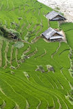 Terraced Rice Field. Green Terraced Rice Field in Sapa, Vietnam Royalty Free Stock Photo