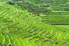Terraced Rice Field Stock Photo
