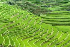 Terraced Rice Field. Green Terraced Rice Field in Sapa, Vietnam Stock Photo