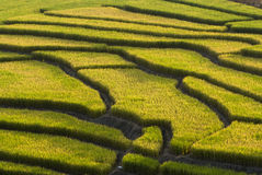 Terraced Rice Field. Green Terraced Rice Field in Chiangmai, Thailand Royalty Free Stock Photography