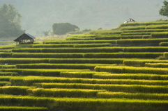 Terraced Rice Field. Green Terraced Rice Field in Chiangmai, Thailand Royalty Free Stock Images