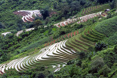 Terraced Rice Field. Green Terraced Rice Field in Sapa, Vietnam Royalty Free Stock Images