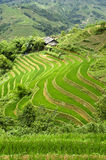 Terraced Rice Field Stock Photos