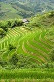 Terraced Rice Field. Green Terraced Rice Field in Sapa, Vietnam Stock Photos