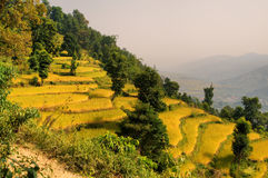 Terraced rice field. In Pokhara Nepal Royalty Free Stock Photography