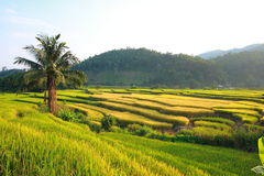 Terraced rice field Royalty Free Stock Image