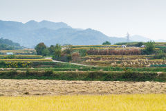 Terraced rice field in autumn Royalty Free Stock Image