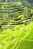 Terraced rice field in Bali. Tegallalang terraced rice field in Bali stock photos