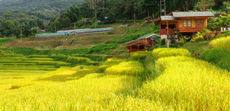 Terraced rice field in Chiang Mai Thailand. Royalty Free Stock Photo