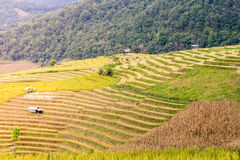 Terraced rice field in the evening Royalty Free Stock Image