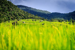 Terraced Rice Field. Green Terraced Rice Field in Thailand Stock Image