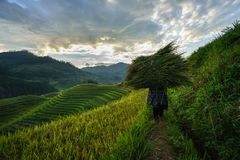 Terraced rice field in harvest season with local ethnic woman carrying grass home in Mu Cang Chai, Vietnam. Royalty Free Stock Image