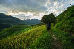 Terraced rice field in harvest season with local ethnic woman carrying grass home in Mu Cang Chai, Vietnam. Royalty Free Stock Photography