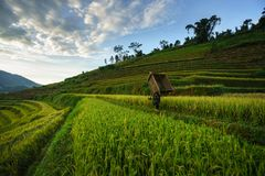 Terraced rice field in harvest season with local ethnic woman carrying harvesting equipment home in Mu Cang Chai, Vietnam. Stock Photo