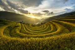 Terraced rice field in harvest season at sunset in Mu Cang Chai, Vietnam.
