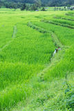 Terraced rice field, Northern of Thailand Royalty Free Stock Images