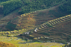 Terraced rice field in Northern Vietnam Royalty Free Stock Image