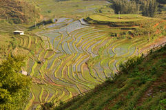 Terraced rice field in Northern Vietnam Royalty Free Stock Photo