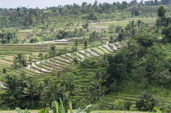 Terraced Rice Field Organic farming Royalty Free Stock Images