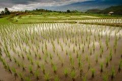 Terraced rice field papongpians maechaen chiangmai thailand Stock Image