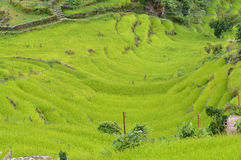 Terraced rice field ready for harvesting in the Himalayas. Nepal Royalty Free Stock Photography