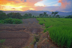 Terraced rice field at sunset by hdr shot Stock Images