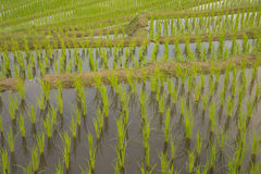 Terraced rice field texture background Royalty Free Stock Photo