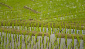 Terraced rice field texture background Stock Photo
