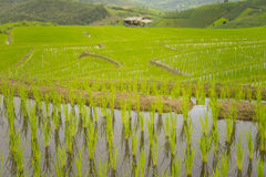 Terraced rice field texture background Royalty Free Stock Photos