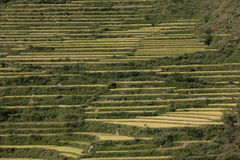 Terraced Rice Fields. On a hillside in Asia. Horizontal shot royalty free stock photos