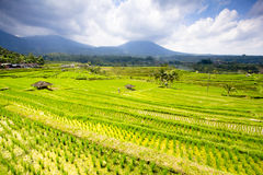 Terraced rice fields Stock Image